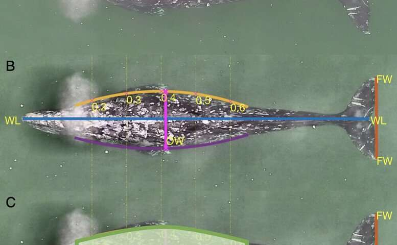 Three years of monitoring of Oregon's gray whales shows changes in health