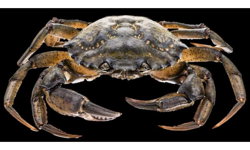 Two new species of parasite discovered in crabs -- discovery will help prevent infection of other marine species