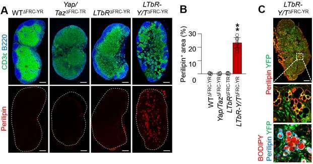 Unveiling how lymph nodes regulate immune response