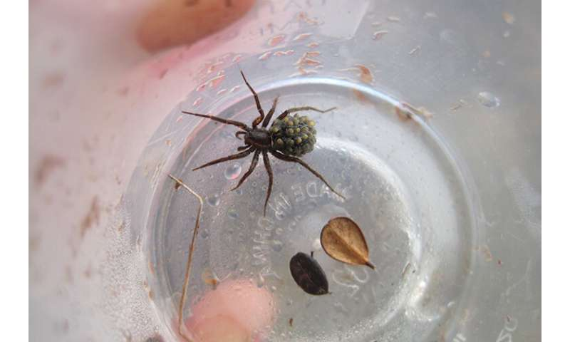 Wolf spiders may turn to cannibalism in a warming Arctic