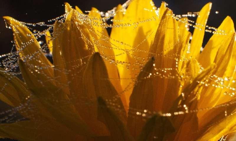 Los científicos pueden usar seda de araña para hacer lentes ópticos