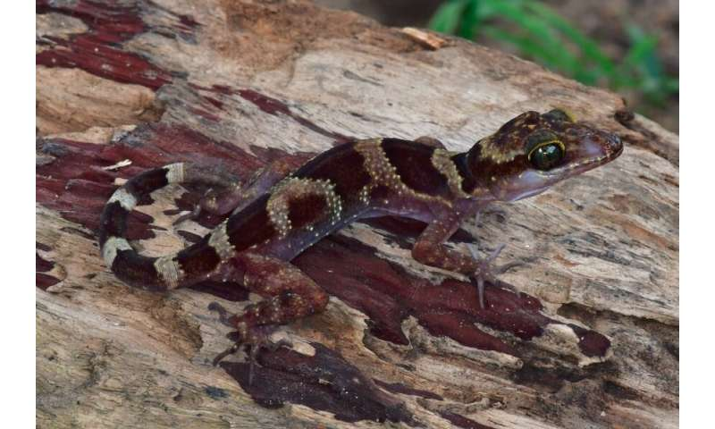 Scientists discover bent-toed gecko species in Cambodia