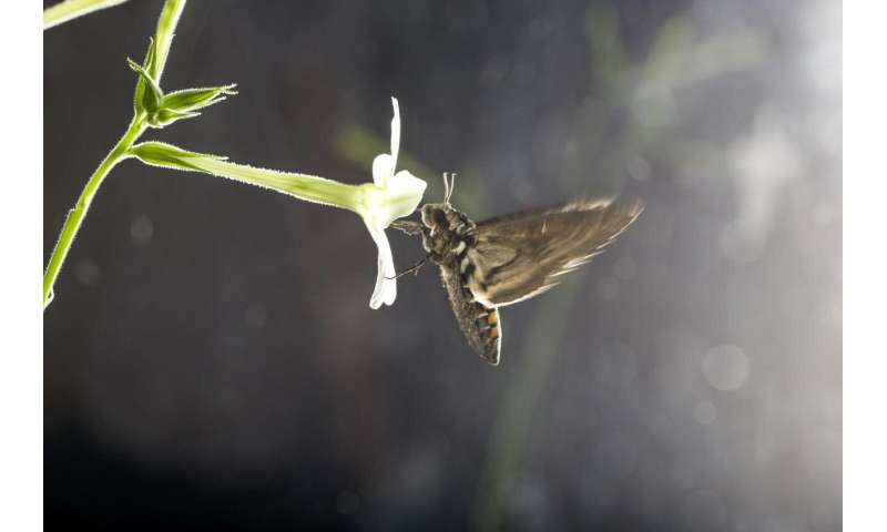 Air pollution renders flower odors unattractive to moths
