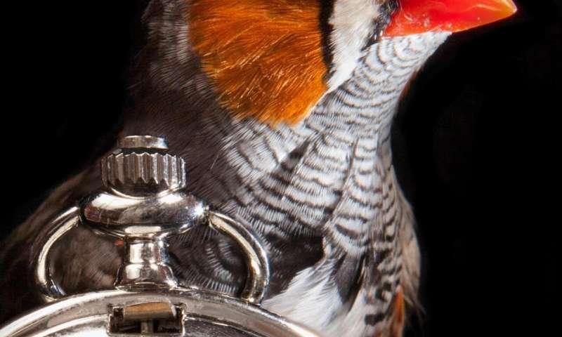 "Researchers deconstruct the ""biological clock"" that regulates birdsong"