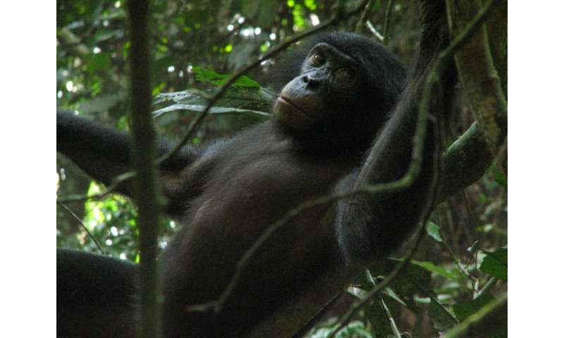 Scientists identify new species of crystal-encrusted truffle, thanks to bonobos