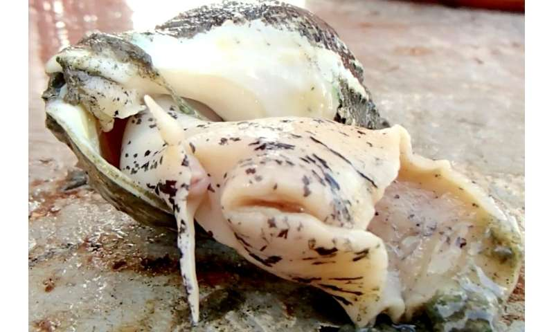 Climate change could threaten sea snails in mid-Atlantic waters