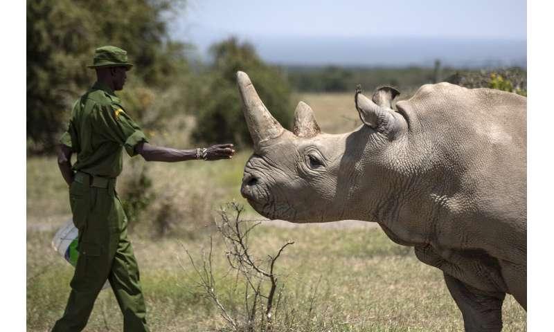 'Amazing': New embryo made of nearly extinct rhino species