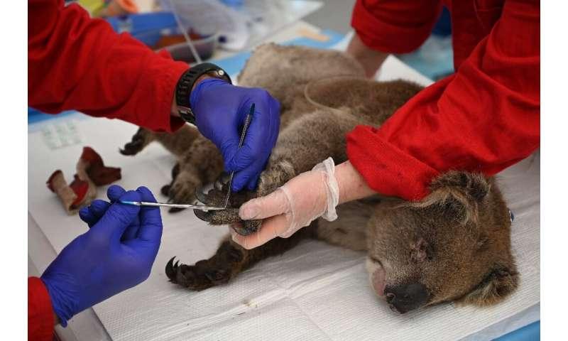 An injured koala is  treated for burns by a vet at the Kangaroo Island Wildlife Park