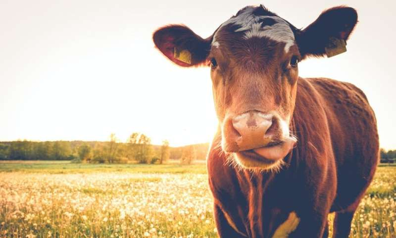 Antibiotic resistance: how drug misuse in livestock farming is a problem for human health