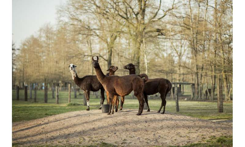 Antibodies from llamas could help in fight against COVID-19