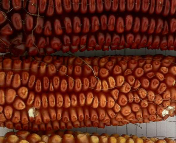 Antioxidants in corn line could aid human IBD protection, therapy