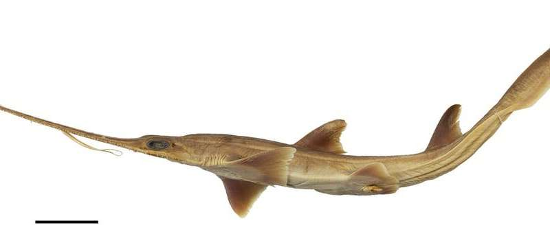 Comment: We've just discovered two new shark species