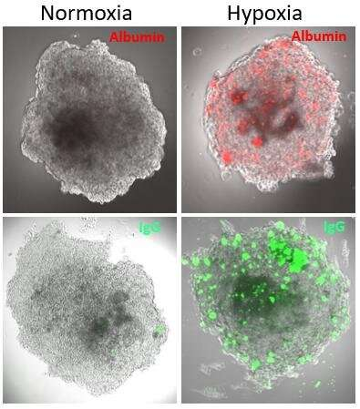 Inflammation induced blood-brain barrier dysfunction studied in organoids