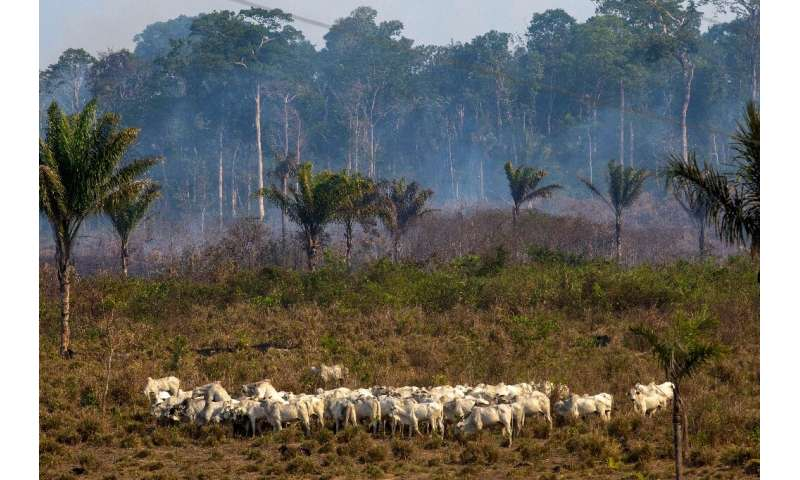 In this file photo taken on August 25, 2019 cattle graze with a burnt area in the background after a fire in the Amazon rainfore