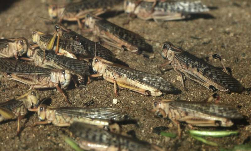 Locust invasion threatens wildlife and livelihoods in Kenya