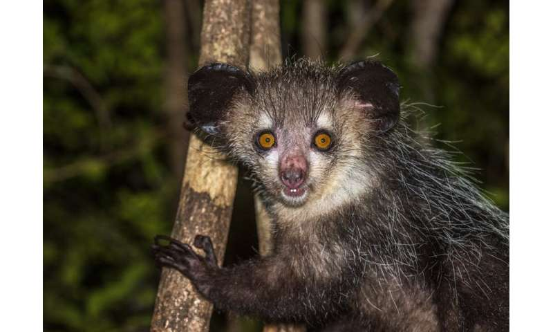 New discovery: Madagascar's bizarre aye-aye has six fingers on each hand