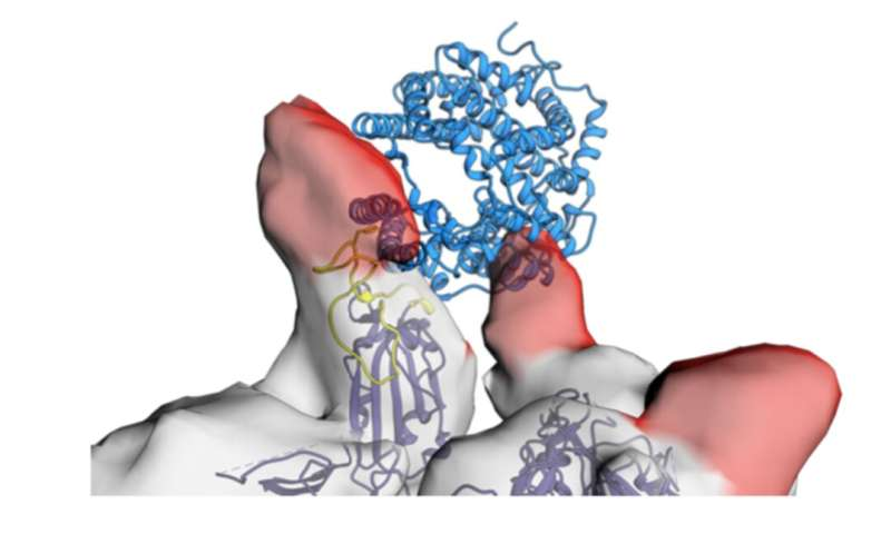 One small part of a human antibody has the potential to work as a drug for both prevention and therapy of COVID-19