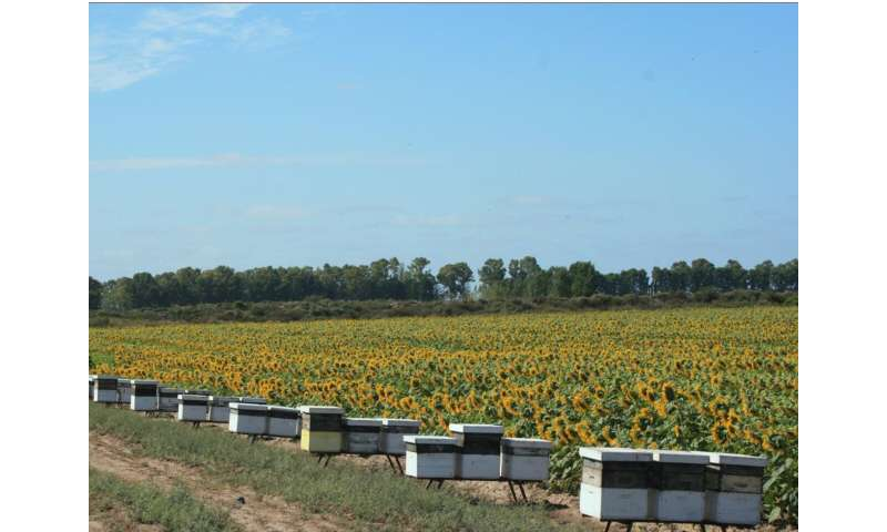 "Scientists ""scent train"" honeybees to boost sunflowers' seed production"