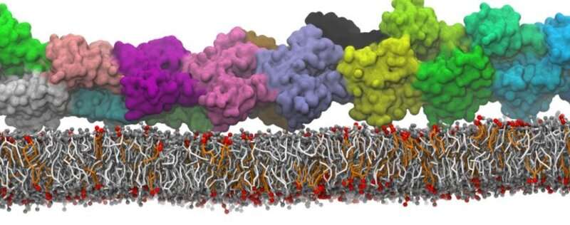 Simulations show fundamental interactions inside the cell