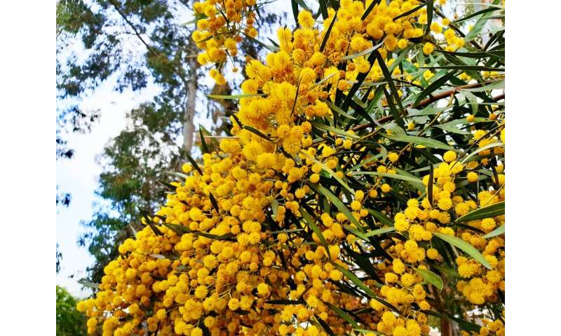 Spring is here and wattles are out in bloom: a love letter to our iconic flowers