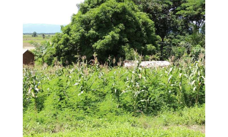Study calls for urgent plan to manage invasive weed which threatens livelihoods in Africa