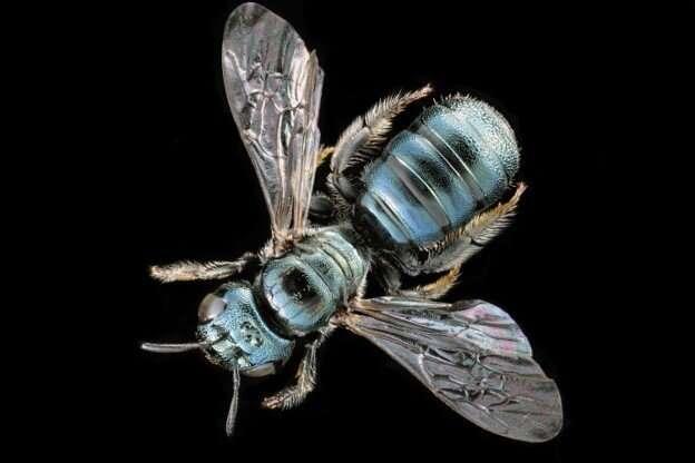 Study reveals evolutionary clues to honeybees' social complexity