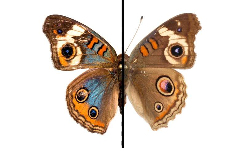 The evolution of color: Team shows how butterfly wings can shift in hue