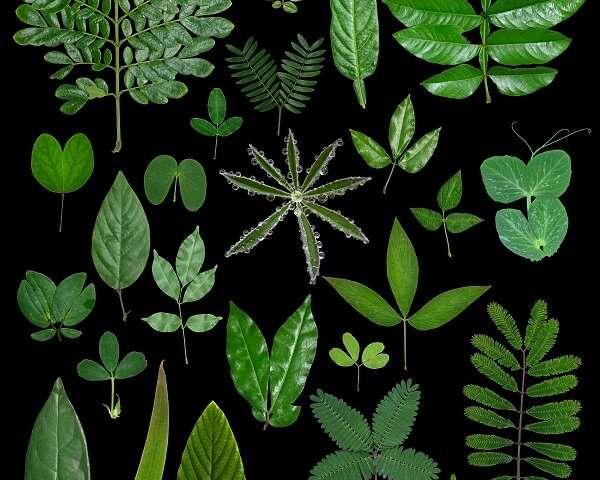 Un estudio revela un marco para la formación de patrones de hojas trifoliadas en plantas leguminosas