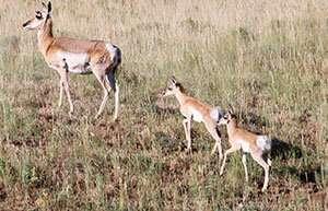 Researchers find Wyoming pronghorn exhibit little genetic variation despite landscape obstacles