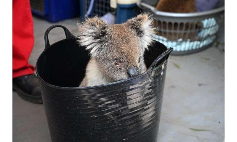 An injured koala waits to be treated on Kangaroo Island