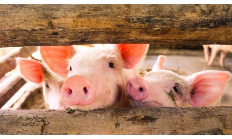 Resistencia a los antibióticos: cómo el uso indebido de fármacos en la ganadería es un problema para la salud humana