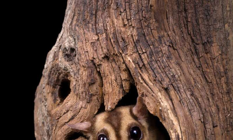 A rare discovery: we found the sugar glider is actually three species, but one is disappearing fast