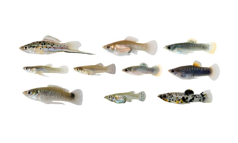 Evolutionary biologists find several fish adapt in the same way to toxic water