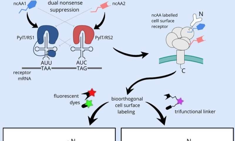 Illuminating cell surface receptors