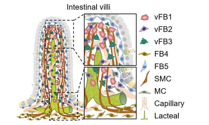 Newly identified gut cells nurture lymph capillaries