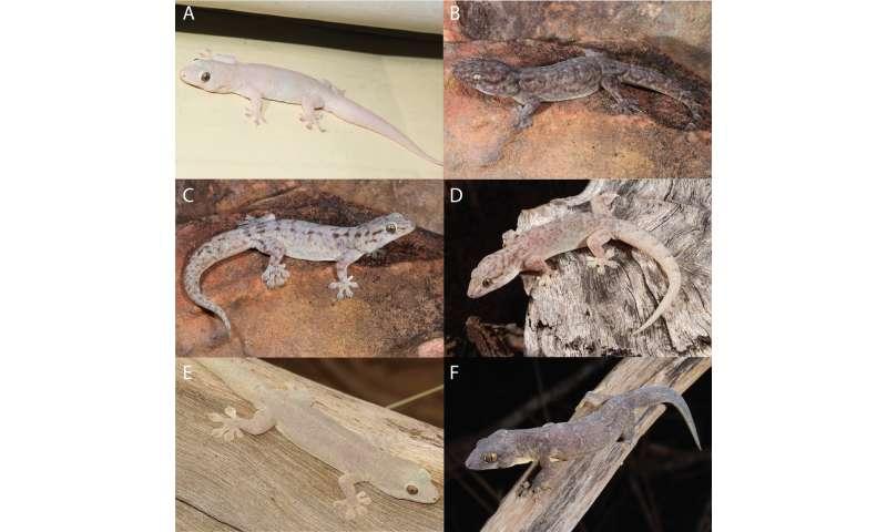 New species of gecko has been hiding in plain sight