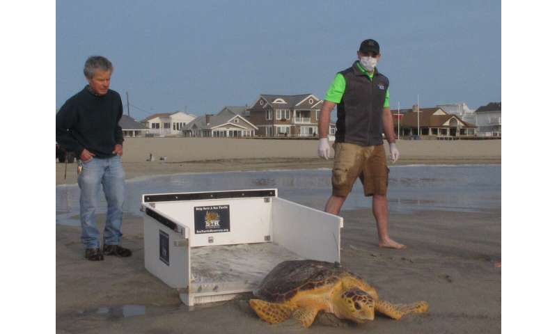 Once near death, rescued sea turtles sent back to the ocean