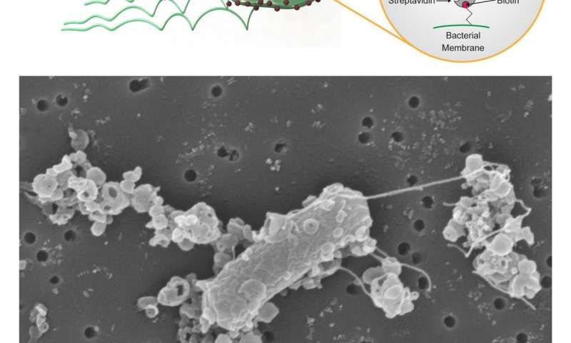 Personalized microrobots swim through biological barriers, deliver drugs to cells