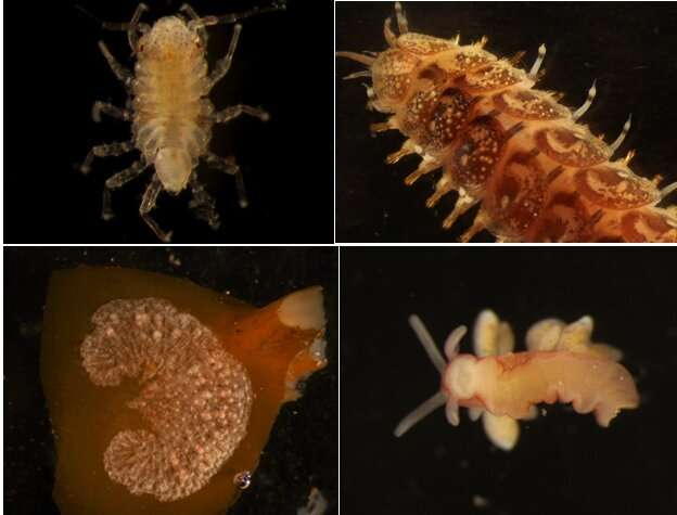 Study identifies the first potentially invasive species to reach the Antarctica on drifting marine algae
