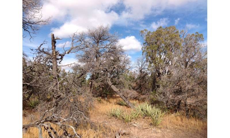 What happens to forested areas when trees die due to drought, after the drought is over?
