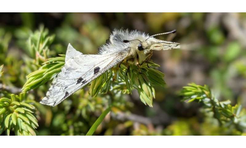 Climate change could cause decline of some alpine butterfly species