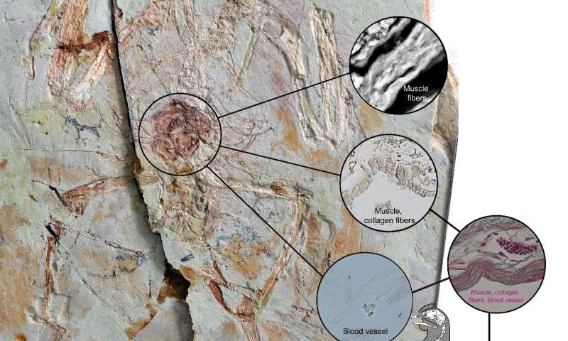 Scientists prove bird ovary tissue can be preserved in fossils