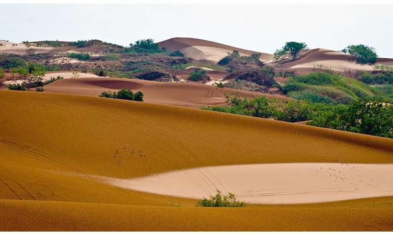 Researchers identify unique populations of dunes sagebrush lizard