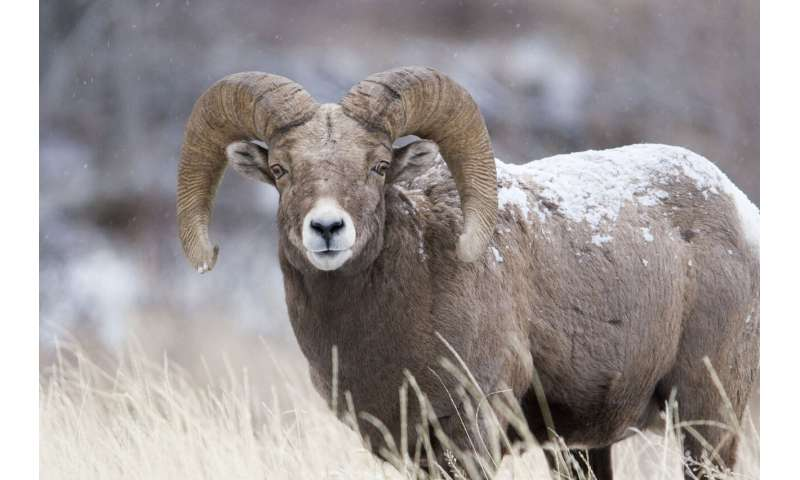 Researchers study genetic outcomes of translocating bighorn sheep