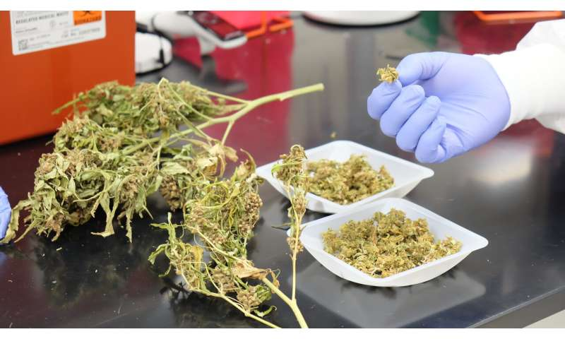 Researchers analyze safety of industrial hemp as cattle feed