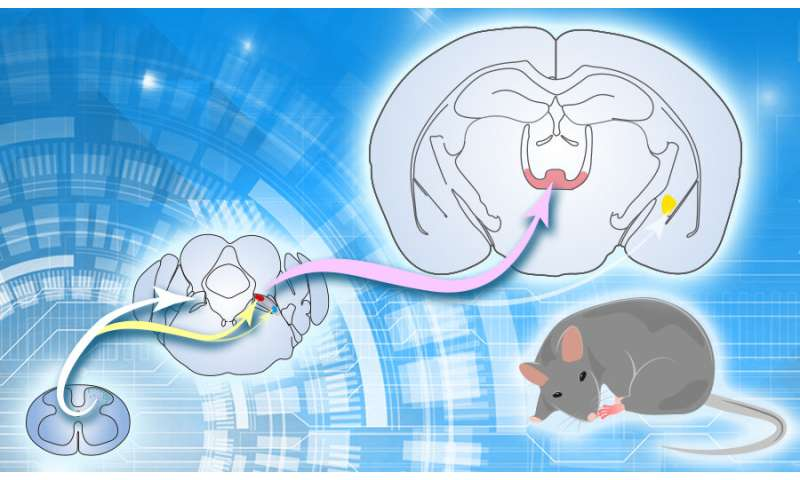 Study reveals circuit mechanism underlying nociceptive information processing