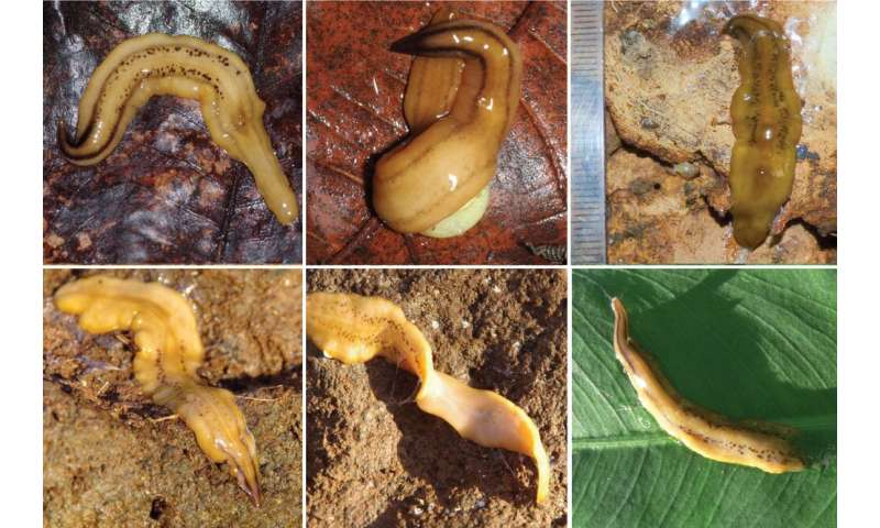 Land flatworms are invading the West Indies
