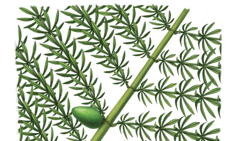 New species of ancient horsetail with gall reveals relationship between plants and parasitoid insects about 300 million