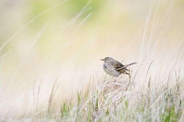 Rewilding: las aves raras regresan cuando el pastoreo de ganado se ha detenido