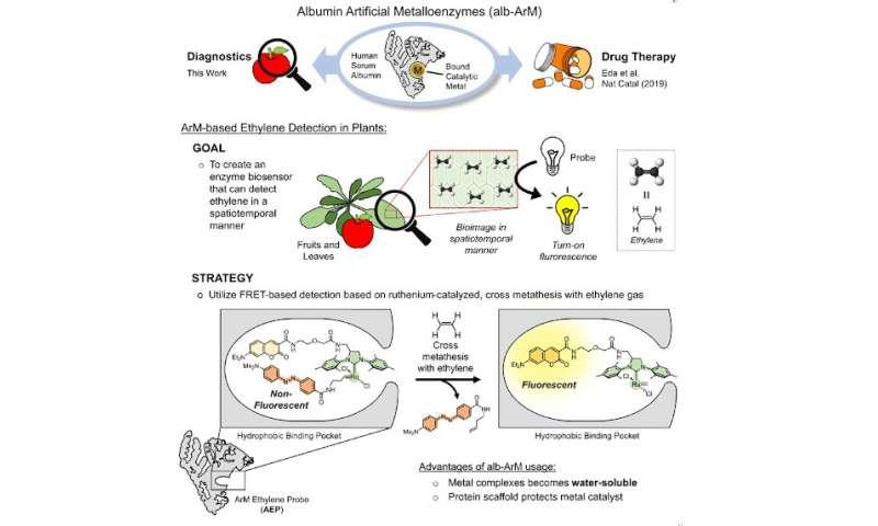 "Scientists develop ""metalloenzye"" biosensor for monitoring ethylene levels in fruits"